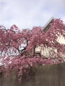 公文邸の桜2.JPG