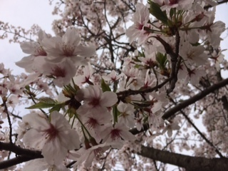 桜2016-2.JPG