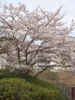 桜2016-4.JPG