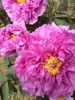 牡丹の花満開.JPG