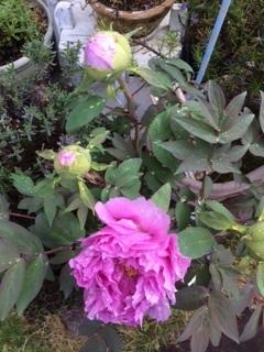 牡丹の花.JPG
